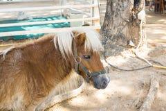 dvärg- häst Arkivfoto