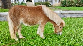 dvärg- häst Arkivfoton