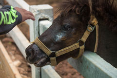 Dvärg- häst för kortkort i en beta på en lantgård royaltyfri fotografi