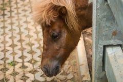 Dvärg- häst i den Thailand lantgården royaltyfri bild