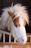 Dvärg- hästar i stallen Fotografering för Bildbyråer