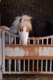 Dvärg- hästar i stallen Royaltyfri Bild