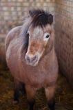 Dvärg- hästar i stallen Royaltyfria Foton