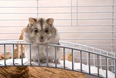 dvärg- hamster Royaltyfri Fotografi