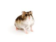 dvärg- hamster Arkivbilder