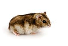 dvärg- hamster Arkivfoton