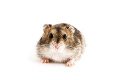 dvärg- hamster Fotografering för Bildbyråer