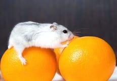 Dvärg- hamster med orange apelsiner på tabellen Arkivbild