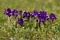 Dvärg- Iris för Violet Arkivfoton