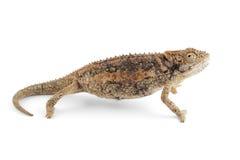 Dvärg- kameleont Royaltyfri Fotografi
