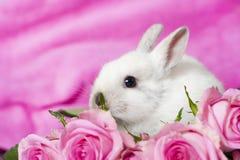 Dvärg- kanin Arkivbilder