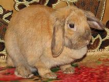 Dvärg- kanin Lila Arkivbild
