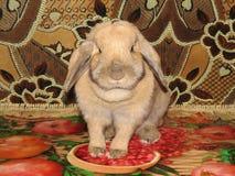 Dvärg- kanin Lila Fotografering för Bildbyråer