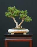 dvärg- kaprifol för bonsai Royaltyfri Fotografi