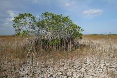 Dvärg- mangroveträd av Everglades nationalpark, Florida fotografering för bildbyråer