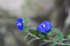 Dvärg- morgonhärlighet med blå oskarp bakgrund Fotografering för Bildbyråer