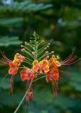 dvärg- poinciana Royaltyfria Bilder