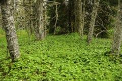 Dvärg- skogskornell Royaltyfri Fotografi