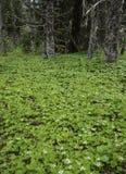 Dvärg- skogskornell Arkivbilder
