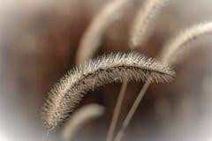 Dvärg- springbrunngräs med mist arkivbild