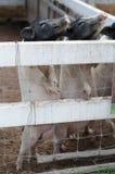Dvärg- svin för svin två Arkivbilder