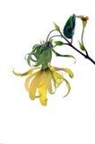 Dvärg- Ylang-Ylangblomma Royaltyfria Bilder
