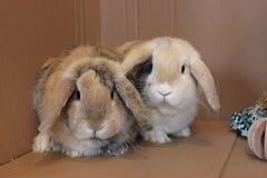 Dvärgen beskär husdjur för kaninbröder inomhus arkivfoto