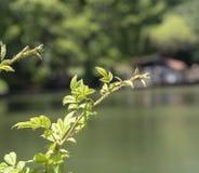 Dvärgen steg blommor stänger sig upp royaltyfri fotografi