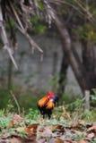 Dvärghönshöna Fotografering för Bildbyråer