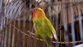 Dvärgpapegojapapegojor i cell Färgrika fåglar i husdjurmarknaden stock video