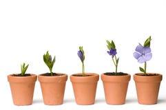 Développement de fleur Images libres de droits