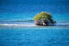 Divi divi tree - Libidibia coriaria -  flooded on sandbar, Aruba Royalty Free Stock Photos