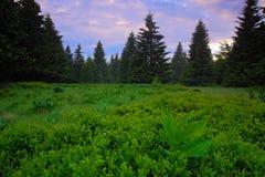 Dvorsky les、Krkonose山、开花的草甸在春天, Forest Hills,有薄雾的早晨与雾和美丽桃红色和紫罗兰色 免版税图库摄影