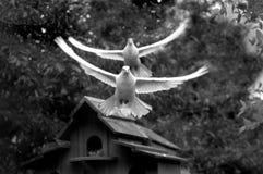 dwóch białych gołębi Fotografia Royalty Free