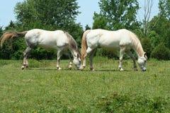 dwóch białych koni. obrazy royalty free