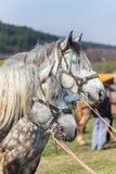 dwóch białych koni Zdjęcia Royalty Free