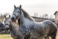 dwóch białych koni Fotografia Royalty Free