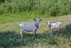 dwóch białych kóz Zdjęcia Royalty Free