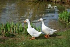 dwóch białych kaczek Obrazy Stock