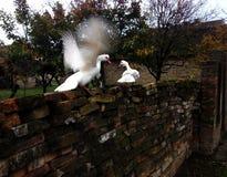 dwóch białych kaczek Fotografia Royalty Free
