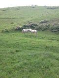 dwóch białych koni Obrazy Royalty Free