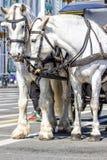 dwóch białych koni Obraz Royalty Free