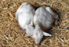 dwóch młodych kozy Zdjęcie Royalty Free