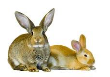dwóch młodych króliki Zdjęcie Royalty Free