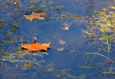 Dwa żółtego liścia zdjęcia stock