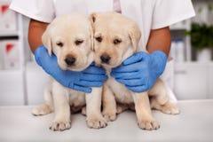 Dwa śliczny przy weterynaryjnym doktorskim biurem ale przelękli labradora szczeniaka psy obrazy stock