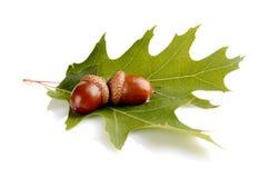 Dwa łączyli acorns na liściu odizolowywającym na białym tle Zdjęcie Royalty Free