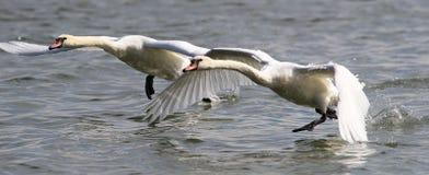 Dwa łabędź biega na wodzie dla zdejmowali Fotografia Royalty Free