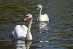 Dwa łabędź na rzece lub jeziorze Obrazy Royalty Free