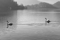Dwa łabędź piękny tanczyć synchronizował na jeziorze otaczającym górami zdjęcia stock